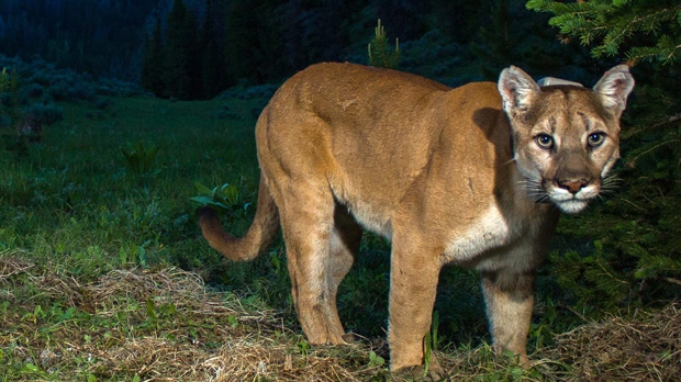 Police issue warning after cougar spotted at Camosun | CTV ...