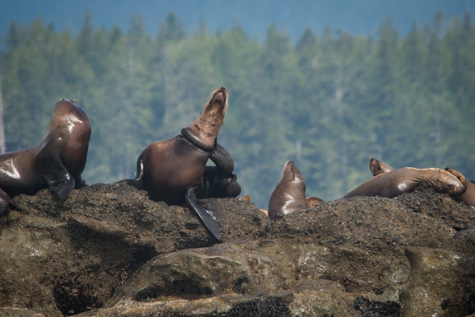 Debris can be seen wrapped around the neck of a Steller sea lion in the Pacific Rim National Park Reserve off the west coast of Vancouver Island. June 12, 2015. (Courtesy Vancouver Aquarium)