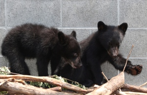 Black bear cubs Athena and Jordan look on from their enclosure at the North Island Wildlife Recovery Association in Errington, B.C., Wednesday, July 8, 2015. (THE CANADIAN PRESS/Chad Hipolito)
