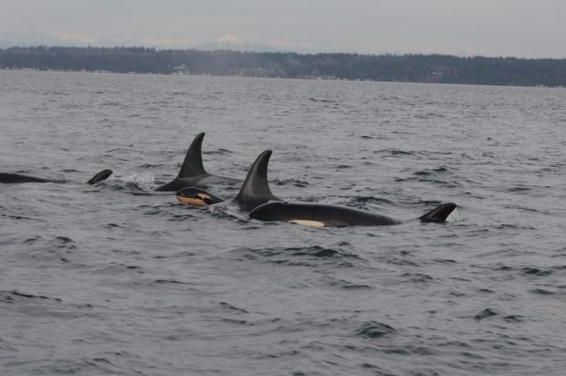 noaa killer whale