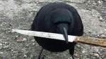 Canuck the crow holds a knife in this photo from Facebook.