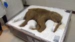 Lubya, a 40,000-year-old preserved baby woolly mammoth, will be on display at the Royal BC Museum in Victoria as part of a new exhibit opening June 1. May 27, 2016. (CTV Vancouver Island)
