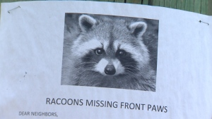Residents of an Oak Bay neighbourhood say someone has been placing out leg-hold traps that have caused some raccoons to lose their paws. May 31, 2016. (CTV Vancouver Island)