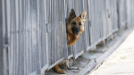 In this file image, a German shepherd is seen during a training exercise. (Photo ITAR-TASS/ Valery Matytsin)