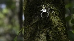 An uncommonly found and endangered twenty year old Ghost Orchid blooms for only the second time in the swamp at Fakahatchee Strand Preserve State Park in Copeland, Florida on June 29, 2016. (RHONA WISE / AFP)
