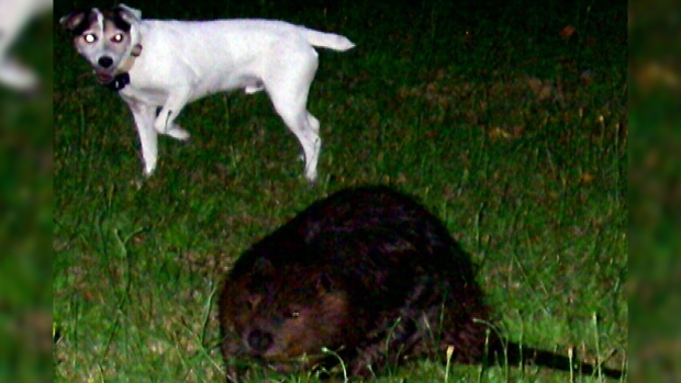 An aggressive beaver is getting a bad rap in Port Alberni for attacking dogs and charging humans, but conservation officers say he won't be relocated. July 28, 2016.