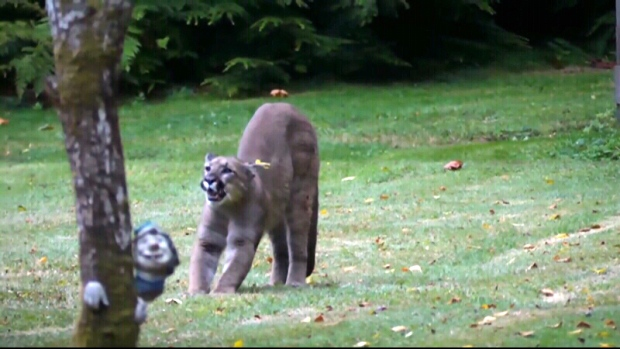 Cougars in victoria bc
