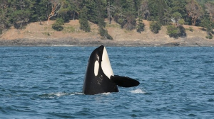 J14, a missing 42-year-old southern resident killer whale, is presumed dead. (Courtesy Center for Whale Research/Dave Ellifrit)
