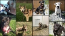 dogs victoria aug 2016