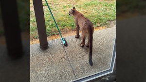 A family of cougars happened upon Cam Jones Courtenay property apparently in search of deer. Wed., Aug. 31, 2016. (Courtesy Cam Jones)