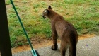 Cougar sightings on Vancouver Island have become a