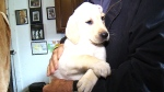 CTV Toronto: Windsor police donate puppy to boy