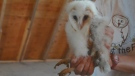 A pair of rare baby barn owls recently born in Delta are thriving thanks to the support of a local non-profit organization. (Provided)