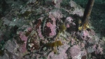 Dive footage from Saturday revealed endangered abalone in the fuel spill area. (Heiltsuk Nation)