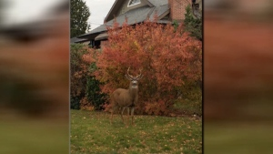 A BC Conservation officer confirmed it's the first-ever report of a deer physically attacking someone on the South Island.
