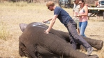 """Prince Harry while he worked in Malawi during the summer 2016, with African Parks as part of an initiative involving moving some 500 elephants over 350 kilometers (220 miles) across Malawi to replenish elephant stocks in Nkhotakota Wildlife Reserve. Prince Harry says of the picture: """"Marking one of the young males so that he is easily identifiable when the family group is released back into the bush and we can keep them together. The spray paint disappears after a few days."""" (Frank Weitzer/African Parks via AP)"""