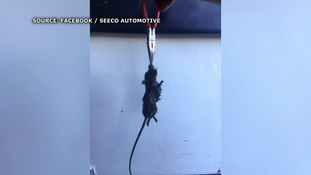 Oh rats: 'Epidemic' of rodents chewing car wires in Comox