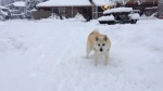Extended: Lucy the dog catches snowballs