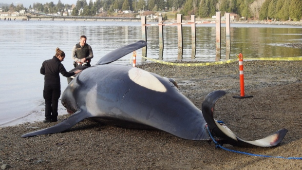 Dead orca found off coast of Sechelt member of Southern Resident pod