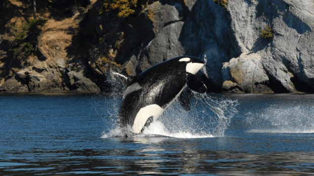 World's Oldest Killer Whale J2, aka 'Granny,' Presumed Dead