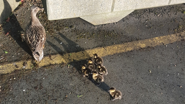 trapped ducklings