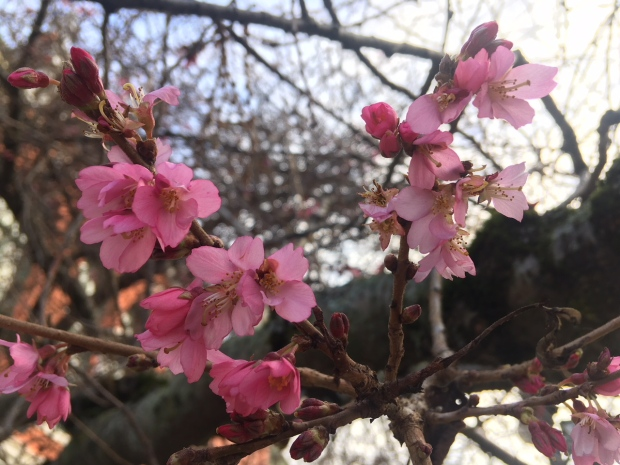 cherry blossoms arrive early in victoria
