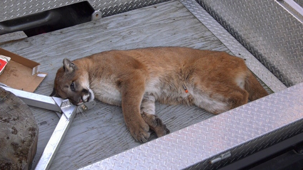 cougar tranquilized