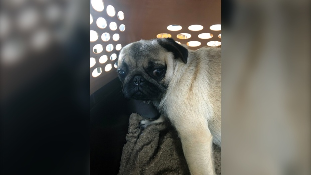 Vancouver Island breeder surrenders 21 pugs, French bulldogs to BC