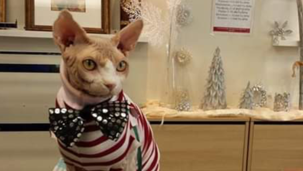 Hairless cat becomes furless fashionisto with outfit for